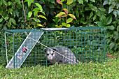 Virginia Opossum in a Live Trap