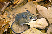 North American Deer Mouse
