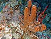 Yellow Tube Sponge, (Aplysina fistularis)