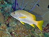 Schoolmaster Snapper (Lutjanus apodus)