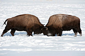 Bison Sparring, Yellowstone