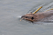 Beaver in Yellowstone