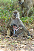 Yellow Baboon and Baby