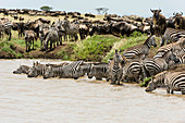 Zebra Herd Drinking, Kenya