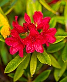 Rhododendron 'Vulcan' flowers