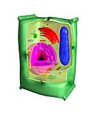 Plant cell, illustration