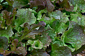 Rain drops on lettuce