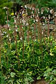 Flowering saxifrage