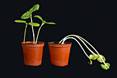Seedlings with & without light