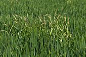 Blackgrass in wheat