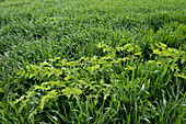 Hogweed plant in wheat