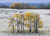 Autumn Quaking Aspens, Utah