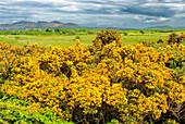 Gorse Flowers, Sligo, Ireland