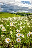 Field of Daisies, Sligo, Ireland
