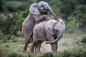 African elephant claves playing