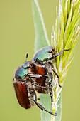 Garden Chafer beetles