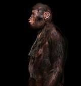 Little foot Australopithecus, illustration