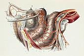 Female pelvic arteries and organs, 1866 illustration