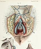Female clitoral anatomy, 1866 illustration