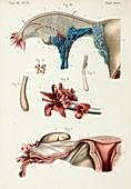 Fallopian tube anatomy, 1866 illustration