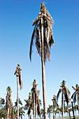 Hurricane damage to palm trees, Florida, USA