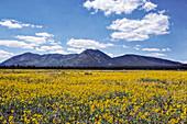 Field of wildflowers, Arizona, USA