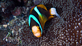 Amphiprion anemonefish by anemone