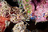 Banded sea urchin