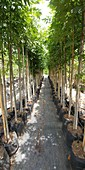 Young trees in a nursery