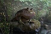 Beelzebufo prehistoric frog, illustration
