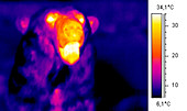 Polar bear head, thermogram
