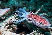 Crinoid cuttlefish threatening another cuttlefish