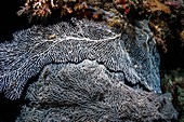 Gorgonian sea fan on a coral reef