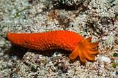 Starfish arm regenerating