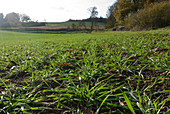 Young wheat crop