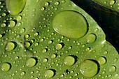 Rain drops on lily pad