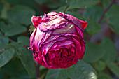 Grey mould on a rose bloom