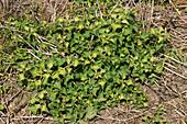 Glyphosate herbicide treatment