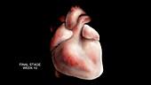 Week 10, Prenatal Heart Development