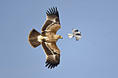 Eastern Imperial Eagle and Black-shouldered Kite