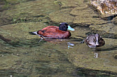 Argentine Lake Duck (pair)