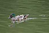 Falcated Duck (m)