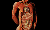 Thoracic and Abdominal Nerves