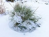 Snow on Stipa gigantea grass