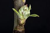 Apple leaf and flower bud