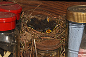 European Robin chicks in a nest
