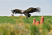 African White-backed Vulture in flight