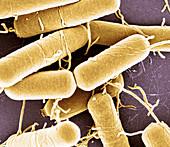 Bacillus subtilis, SEM
