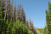 Spruce beetle infestation