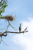 Young Great Blue Heron on Branch